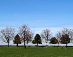 Cosa è un buon sempreverde albero o arbusto alto per un recinto di privacy?