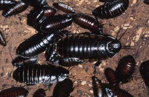Come uccidere scarafaggi sotto il frigorifero