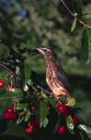Come proteggere alberi da frutto dagli uccelli Mangiare
