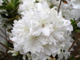Bianco arbusti fioriti