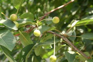 Quali sono le macchie nere sul ciliegio foglie?