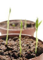 Fattori necessari per la germinazione dei semi di pisello