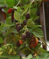Come piantare un Patch Berry