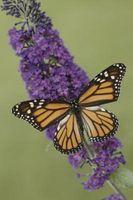 una farfalla Bush può essere divisa?