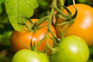 Pomodori che crescono insieme crepe in loro