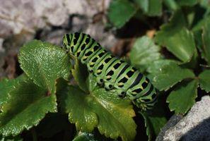 La terra di diatomee per giardino parassiti