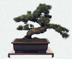 Fasi crescita di un albero bonsai
