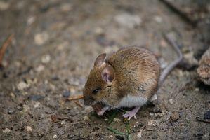 Come uccidere topi con prodotti naturali