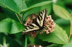 La germinazione dei semi Milkweed