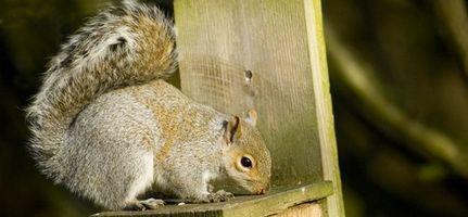 Come smettere di scoiattoli da mangiare uccello cibo