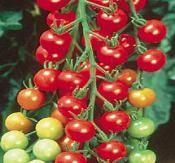 Come coltivare pomodori di ciliegia interna