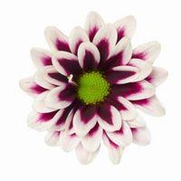 Fiore con petali che sono bianche su Top & Viola All'interno