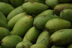 Mango Trees: How Low di temperature che possono gestire?