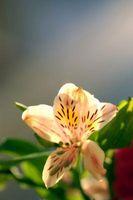 Come controllare Red Lily Foglia Coleotteri