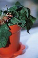 Cosa c'è di sbagliato quando una pianta si affloscia?