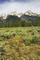 High Country ornamentali Grass