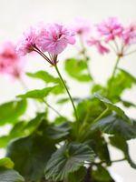 Condizioni di crescita per Ivy Gerani