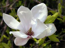 Magnolia Tree: rami neri con macchie bianche