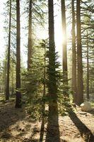 Trattamenti ponte con Pine Tar