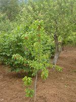 Irrigazione Idee per alberi da frutto
