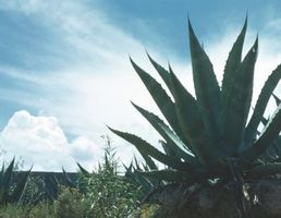 Agave Weevil controllo