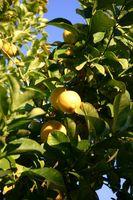 Suggerimenti per potatura alberi da frutto nani