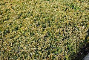 Plant Food per Bush