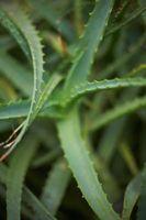 Come usare l'Aloe Vera Spray sulle vostre piante