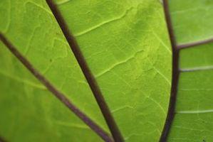 Perché non tutte le cellule vegetali contengono cloroplasti?