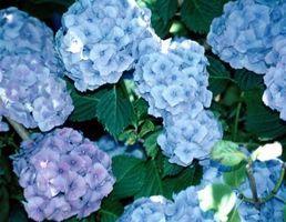 Macchie di ruggine sul francese Blu Ortensie