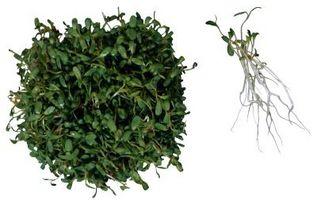 Fai da te crescente germogli di erba medica