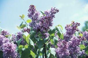Come identificare cespugli di fiori