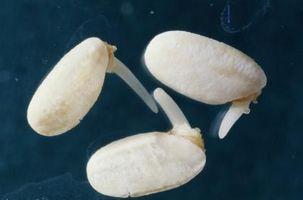 Germinazione dei semi con acqua purificata