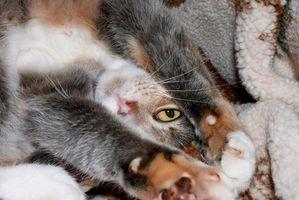 Sono Catnip Piante pericolose per gatti?