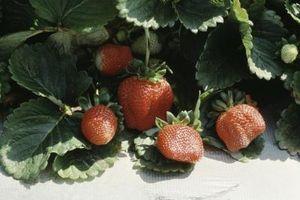 Come piantare fragole Ogni Anno