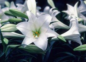 Come fermare l'odore dei gigli di Pasqua
