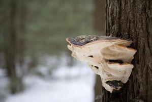I funghi che crescono in corteccia di albero