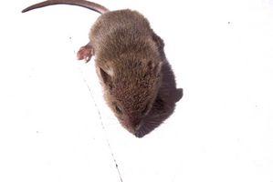 Come sbarazzarsi dei topi che non andrà a scattare trappole con burro di arachidi o appiccicoso Boards