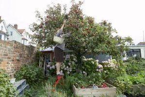 Come proteggere albero da frutta dal sole