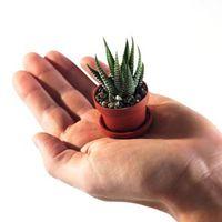 -luce bassa Succulente