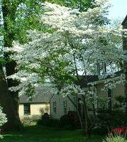 Bianco fioritura Dogwood crescita