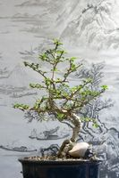 Sud Africa Bonsai & Seeds