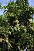 Spray per alberi di Mango