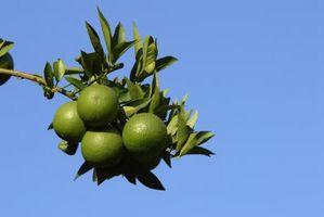 Quale parte del albero cresce Arance Sweetest?