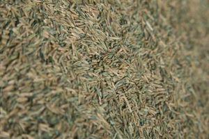 Il momento migliore per semi di erba in climi freddi