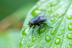 Repellente naturale per mosche nere