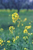 Gli effetti dell'acido Gibberellico su Brassica rapa