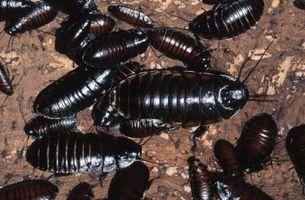 Come uccidere scarafaggi naturalmente con foglie di alloro