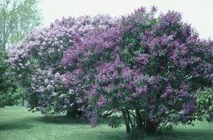 Arbusti da fiore che crescono Upright