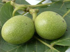 Come scegliere Hickory Nuts